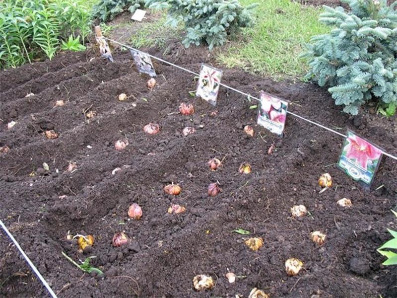Выбираем участок для лилий в полутени хвойников