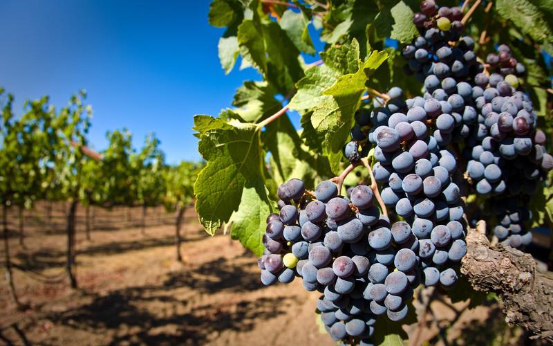 Выращивание винограда на Урале фото