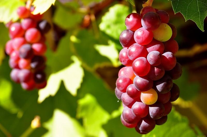 Выращиваем идеальный урожай винограда