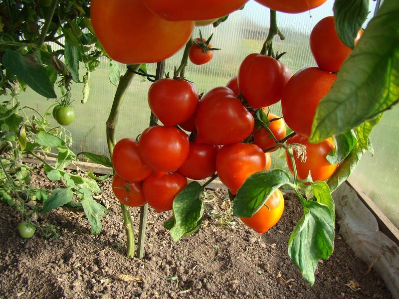 Выращиваем помидоры в теплице из поликарбоната