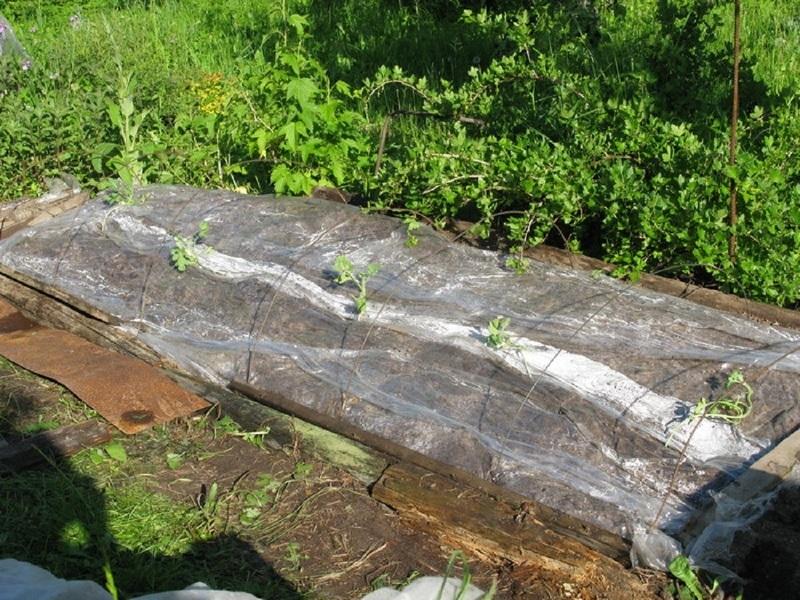 Выращивание арбузов в Сибири на компосте