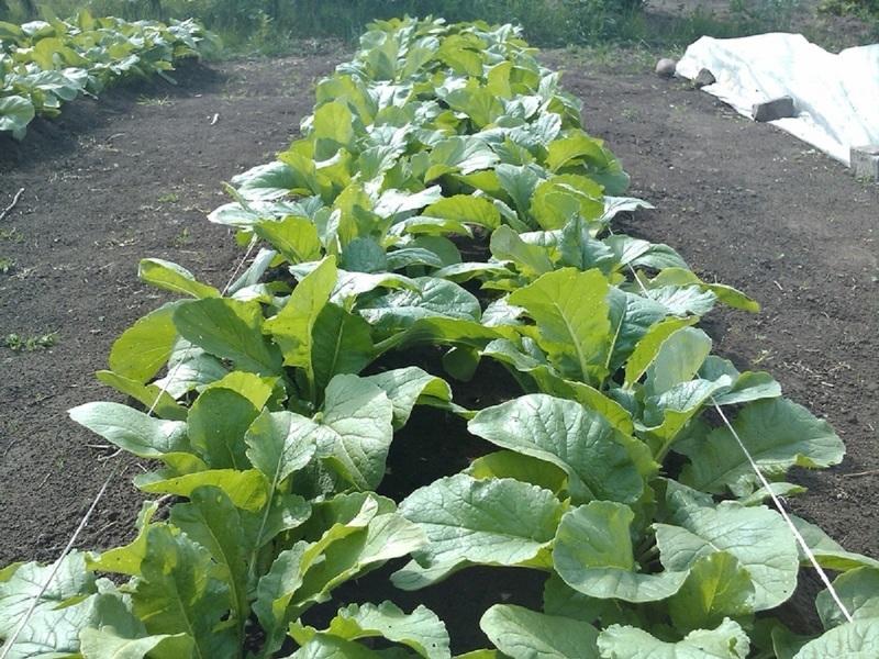 Выращивание дайкона в открытом грунте