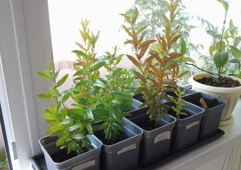 Гранат домашний фото и выращивание из косточки