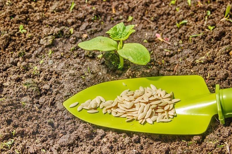 Выращивание кабачков в открытый грунт 104