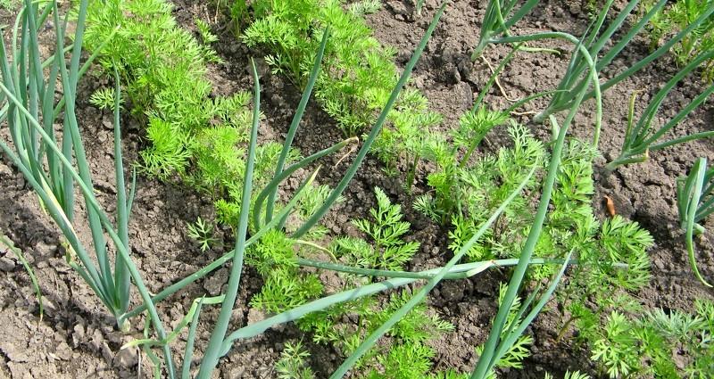 Выращивание лука совместно с морковью
