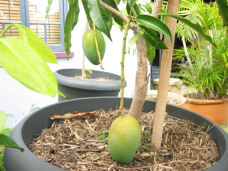 Как вырастить манго из косточки в домашних условиях с фото
