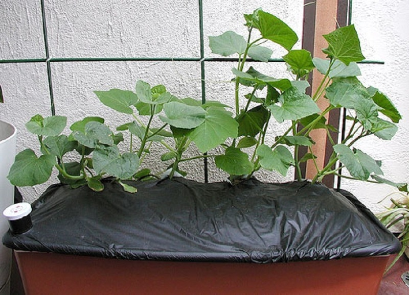 Выращивание огурцов на балконе под пленкой