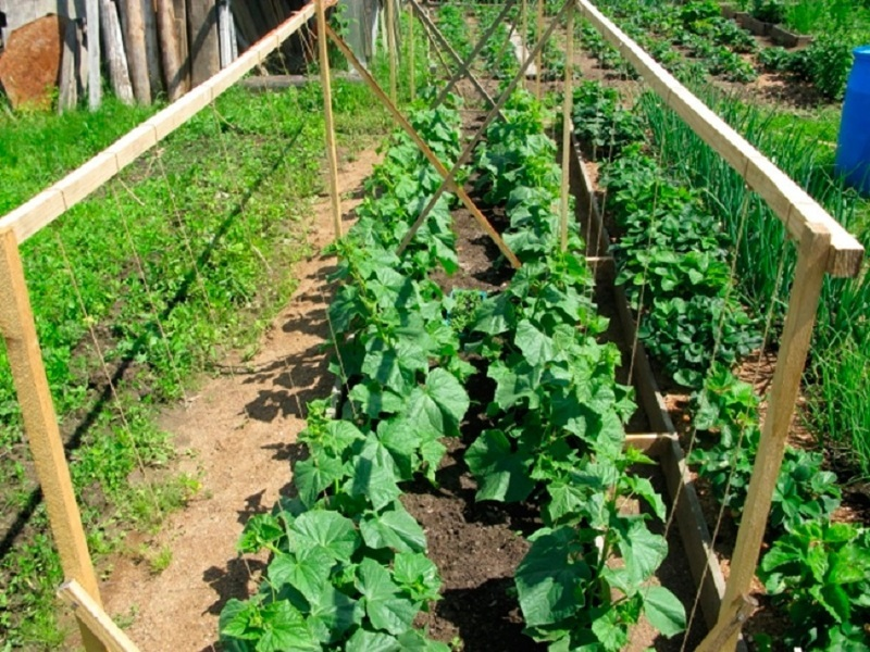 Выращивание огурцов в открытом грунте