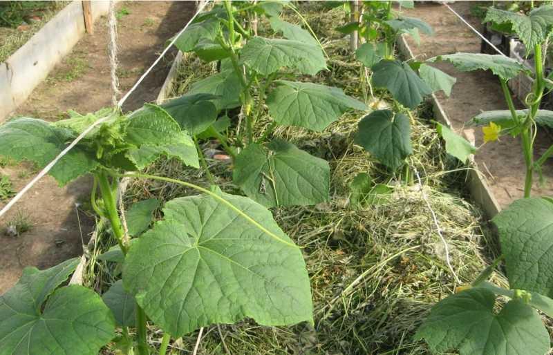 Выращивание огурцов в траншеях - высокоурожайная методика