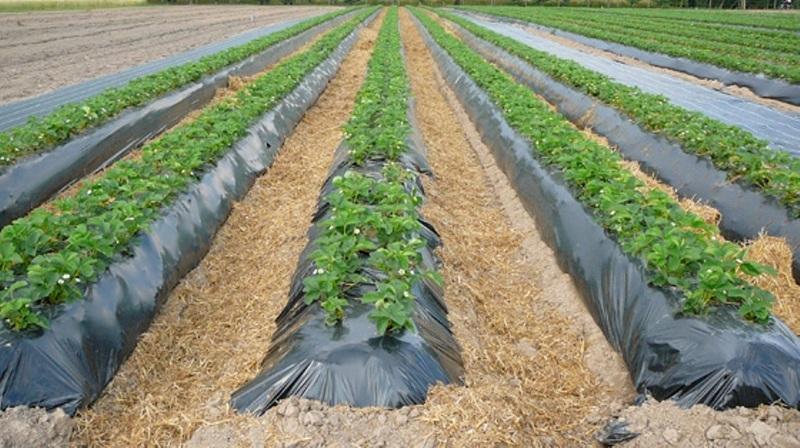 Выращивание ремонтантной клубники в открытом грунте