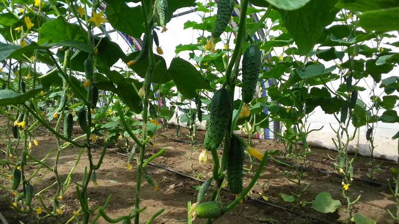 Выращивание и уход за огурцами в теплице во время плодоношения