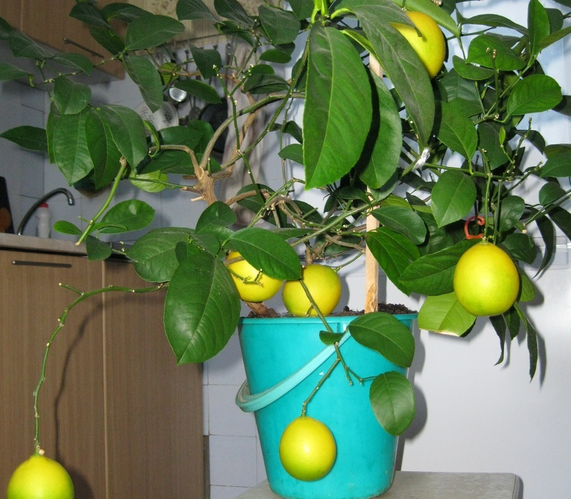 Вырастить лимон можно из косточки, но без прививки он не принесет плодов