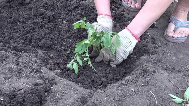 Высаживаем помидоры в открытый грунт