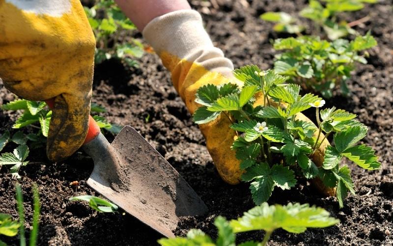 Высаживание рассады земляники в открытый грунт