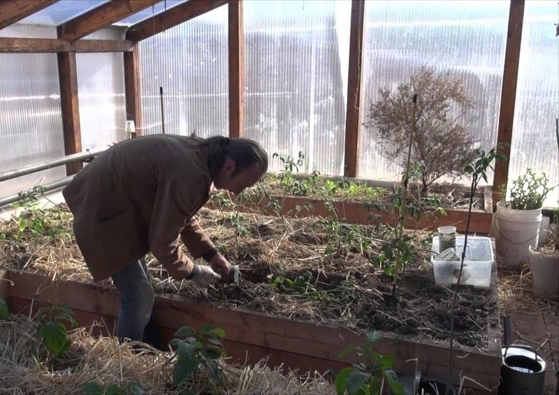 Высаживание в теплицу рассады помидор