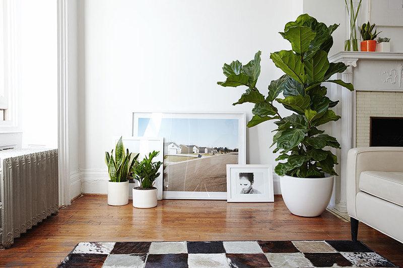 Взрослое дерево инжира в интерьере квартиры