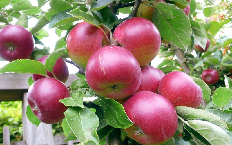 Лучший сорт яблони для подмосковья форум