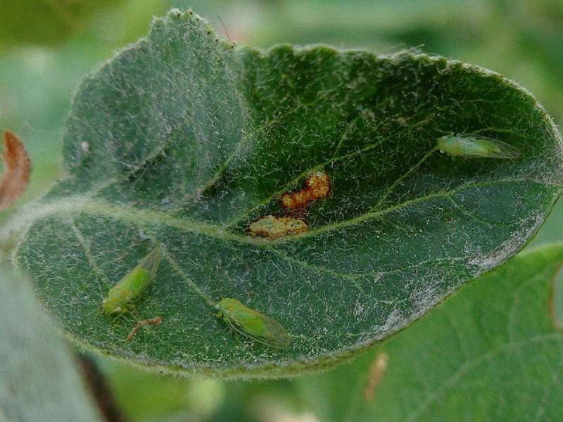 Яблоневая медяница - может стать причиной опадания бутонов и завязей яблони