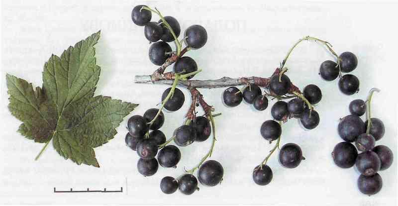 Крупные ягоды черной смородины сорта Подарок Кузиору