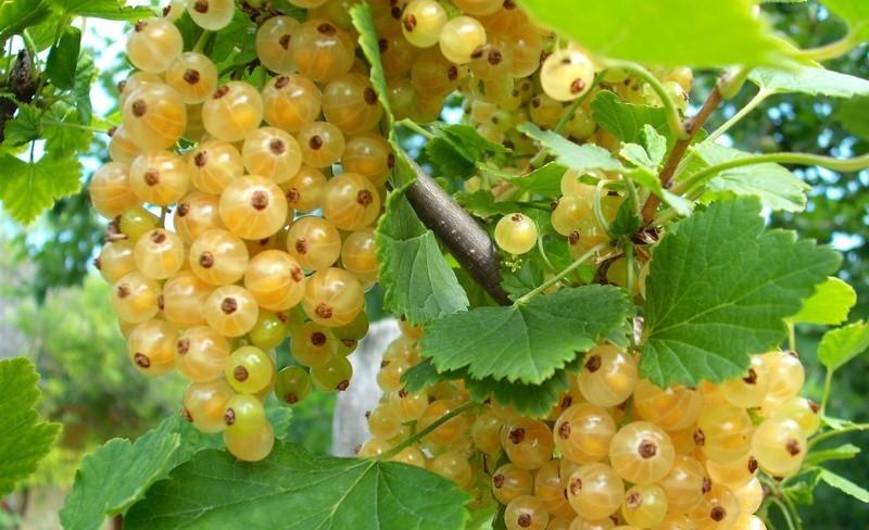 Ягоды и листья белой смородины