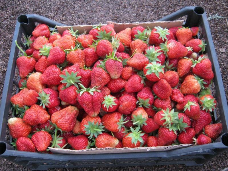 Плоды Вима Рина - крупные, сладкие и очень сочные