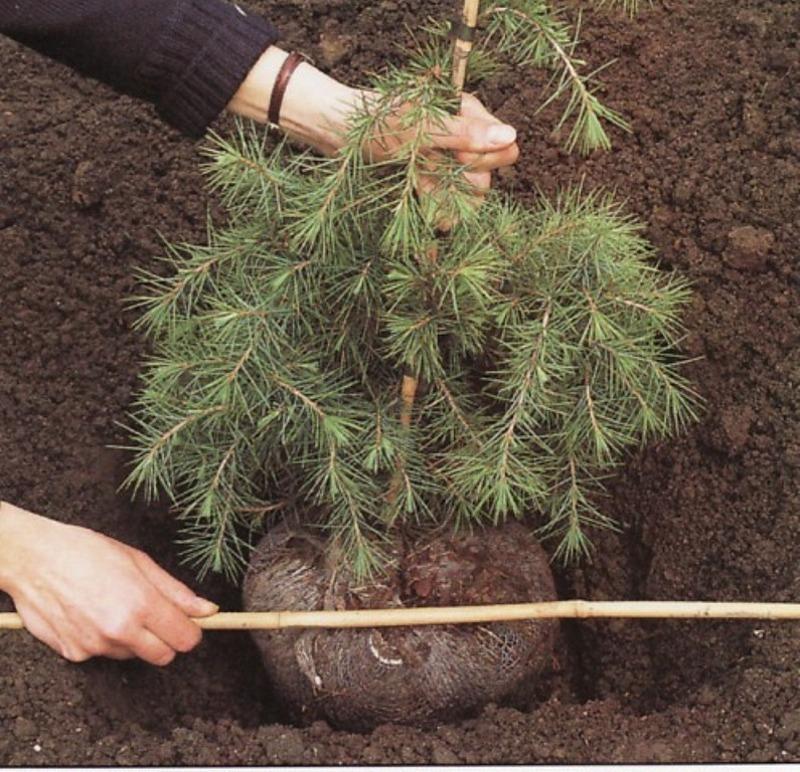 Почему нельзя елку сажать во дворе