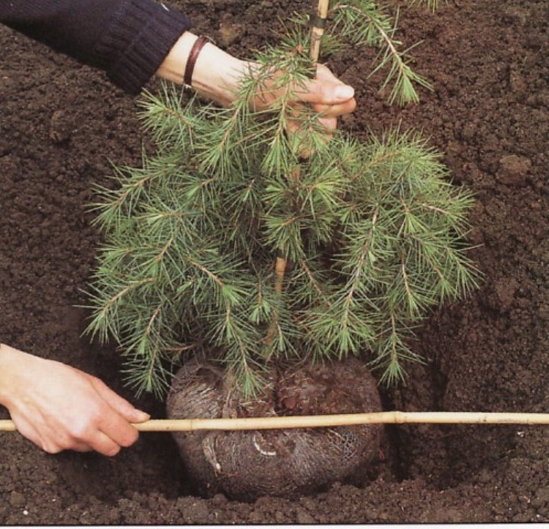 Яма для саженцев хвойных деревьев