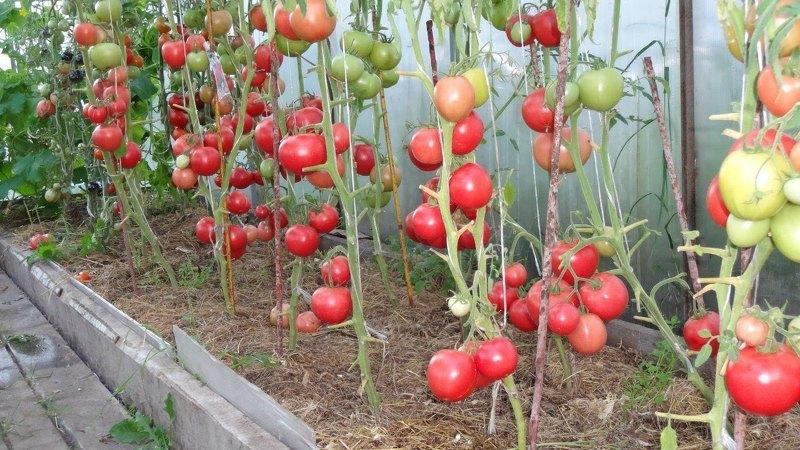 Наиболее популярный среди садоводов томат - Яркая малиновка F1