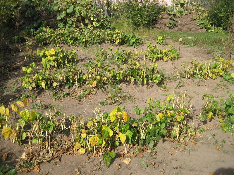 Фасоль вьющаяся посадка и уход в открытом грунте