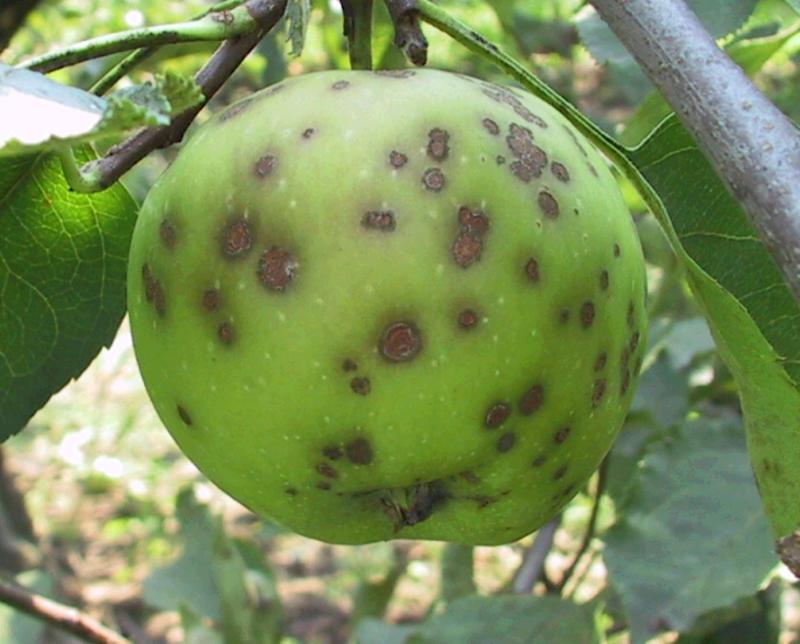 Черный рак яблони лечение