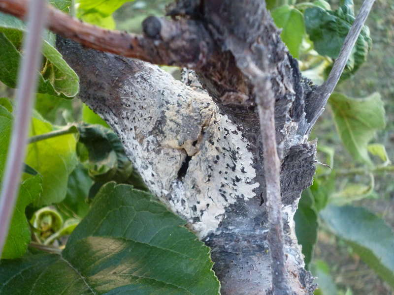 Заболевания груши и методы борьбы с Цитоспорозом