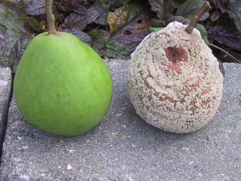 Заболевания плодов груши - Монилиоз