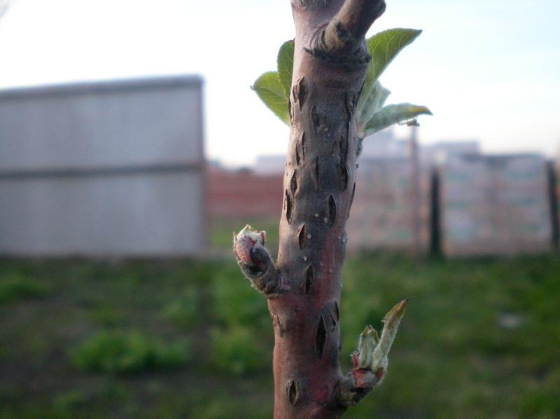 Заболевания плодовых деревьев: черный рак