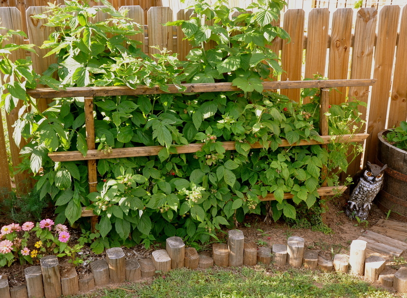 Поддерживающий забор для ограничения роста малины