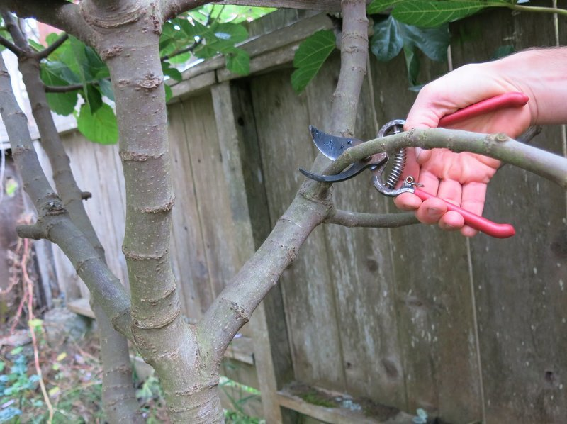 Заготовка черенков инжира для размножения