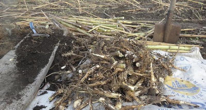 Заготовка и просушка корней подсолнечника