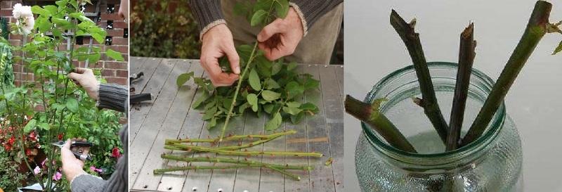 Вырастить розы черенками в домашних условиях