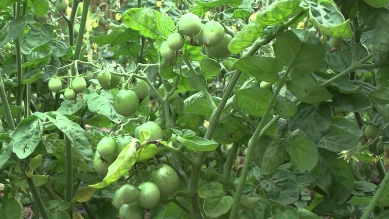 Обрезка листьев у томата, сроки, фото и видео