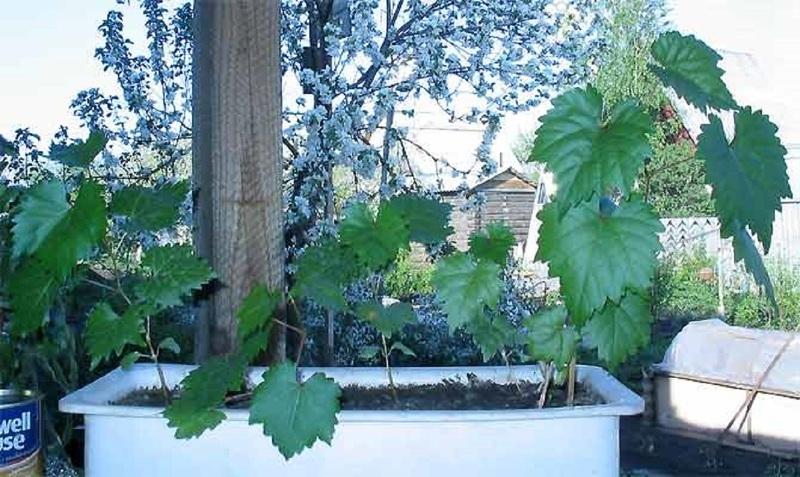 Закаливание винограда из косточки весной