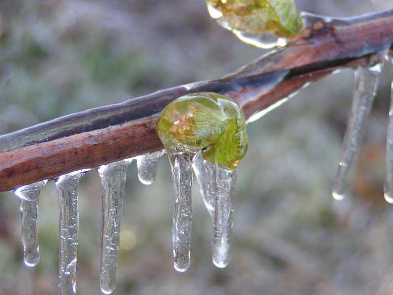 Замерзшие побеги винограда во время весенних заморозков