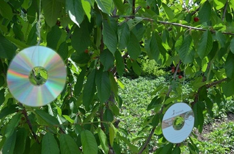 Защита плодов черешни от птиц с помощью старых компьютерных дисков