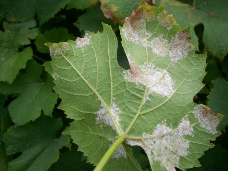 Защитить виноград от милдью поможет обработка йодом