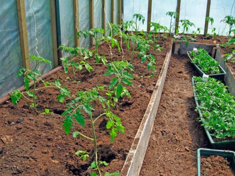 Здоровые кусты помидор в теплице