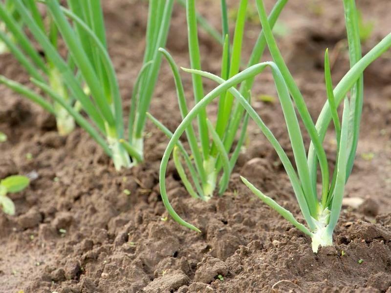 Зеленый лук на грядке - первый источник витаминов весной