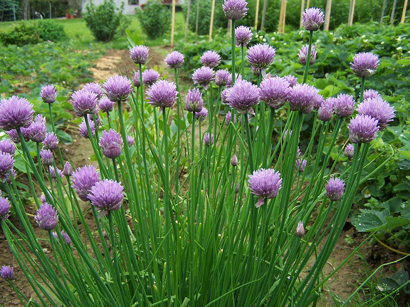 Шнитт - декоративный красивоцветущий вид зеленого лука