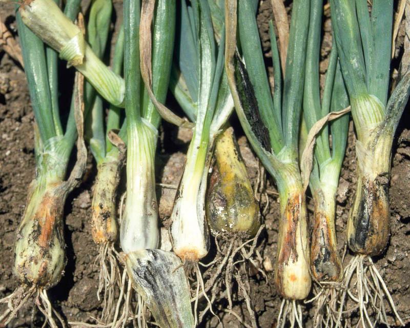 Если желтеет лук, причиной может быть гниение луковицы