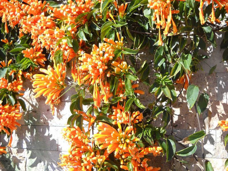 Жимолость Брауна привлекает яркими цветками мандаринового цвета