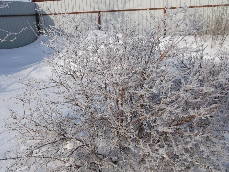 Жимолость - морозостойкий кустарник и в укрытии не нуждается