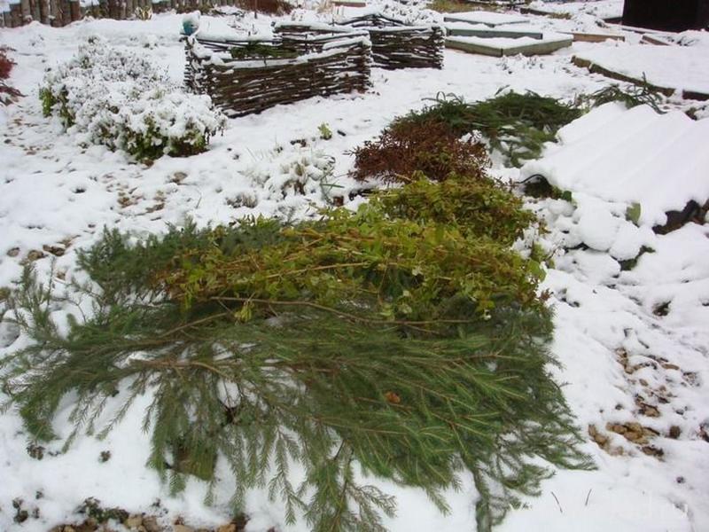 Зимнее укрытие цветника из елового лапника